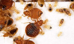 Bed Bugs – Get to Know Them and Prevent them Immediately